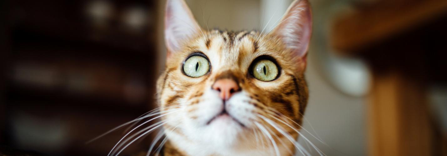 Diabetes mellitus: Einteilung, Klinik, Diagnostik und Therapie bei der Katze