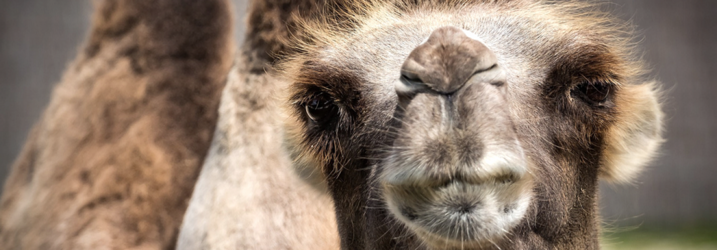Mit Liebe zum Kamel: Zu Besuch beim Central Veterinary Reseach Laboratory (CVRL) in Dubai