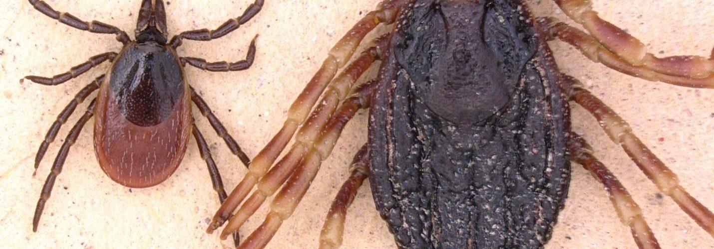Tropische Zeckenarten: Mehrere Funde in Deutschland beunruhigen Fachleute