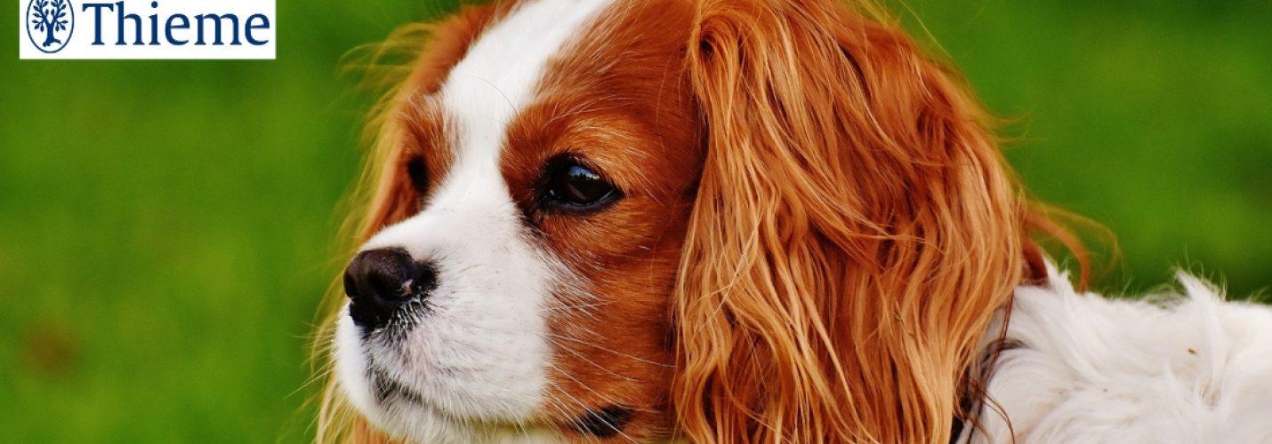 Chiari-ähnliche Malformation beim Hund – Über Diagnostik und Therapiemöglichkeiten