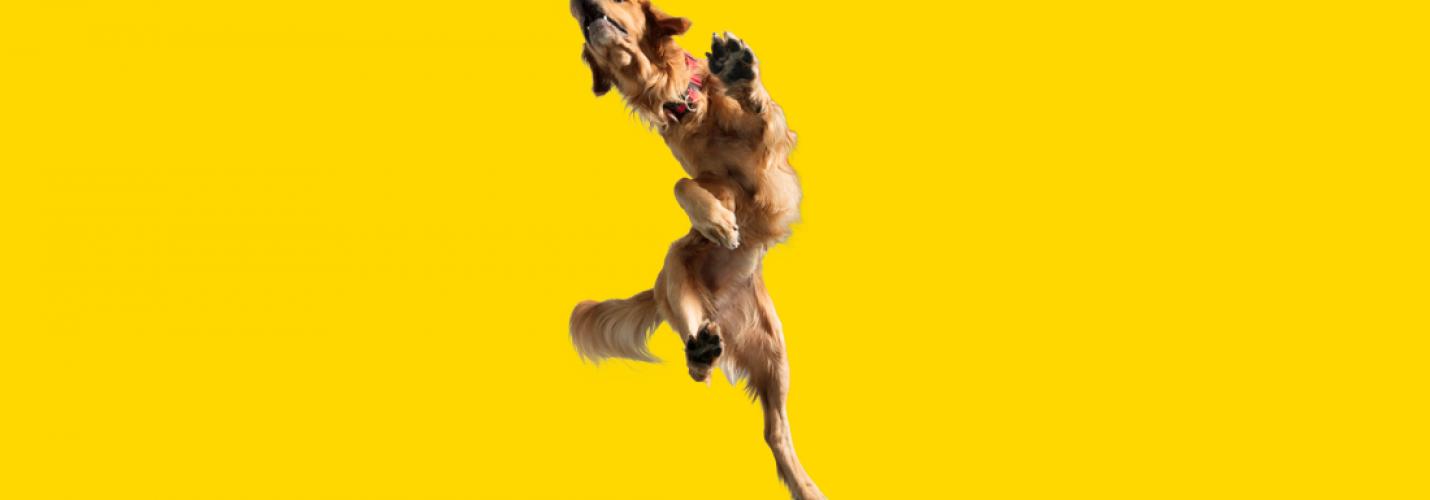 Osteoarthritis beim Hund – Grapiprant als neue Therapieoption